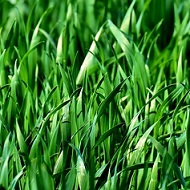 Trava - Green as grass in Serbian